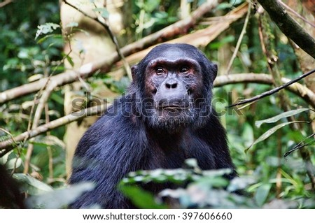 Close-up of a chimpanzee in Kibale Forest National Park, Uganda - stock photo