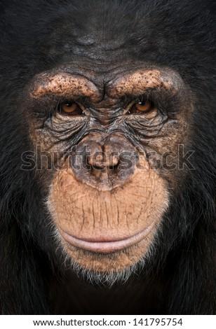 Close-up of a Chimpanzee looking at the camera, Pan troglodytes - stock photo