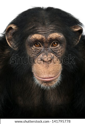 Close-up of a Chimpanzee looking at the camera, Pan troglodytes, isolated on white - stock photo