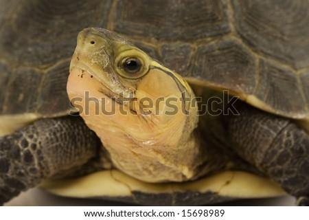 Close-up of a Chinese Box Turtle (Cuora flavomarginata) - stock photo