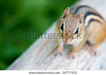 Close-up of a chipmunk on a log. He looks like he wants to have a conversation with you...