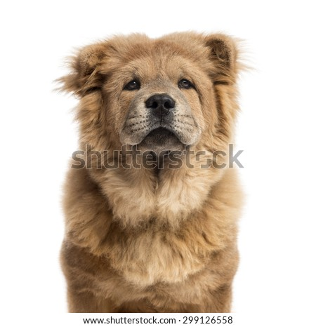 Close-up of a Chow-Chow in front of a white background - stock photo