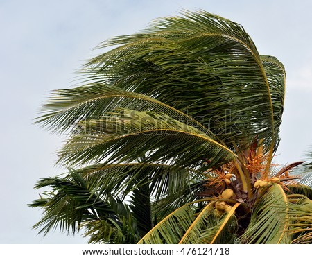 Close up of a coconut palm tree blowing in the winds of a hurricane or tropical storm, against overcast sky.