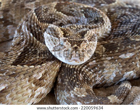 Close-up of a coiled puff adder (Bitis arietans) snake ready to strike, South Africa - stock photo