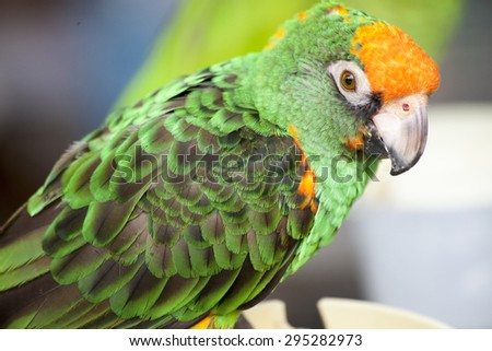 Close up of a Colorful Parrot