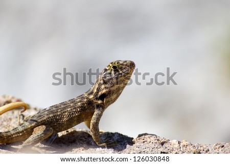 Close-up of a common lizard