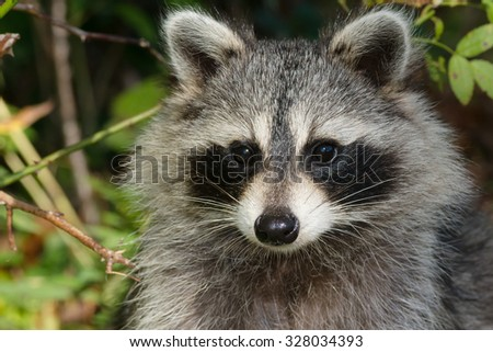 Close up of a Common Raccoon.