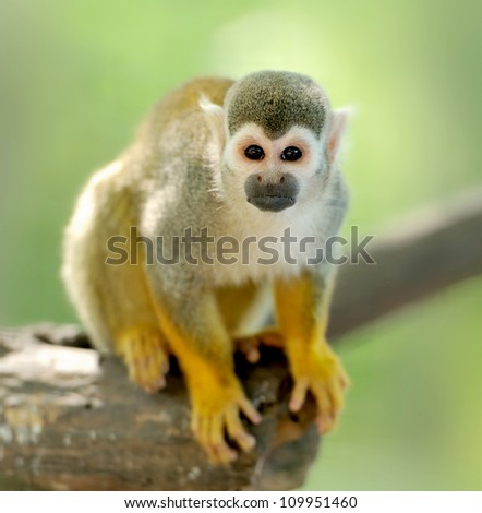 Close-up of a Common Squirrel Monkey - stock photo