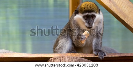 Close-up of a Common Squirrel Monkey.