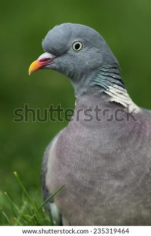 Close up of a Common Wood Pigeon (Columba palumbus) sitting on a lawn. - stock photo