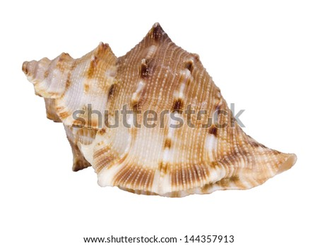 Close-up of a conch shell