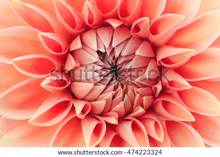 Close up of a coral colored dahlia.