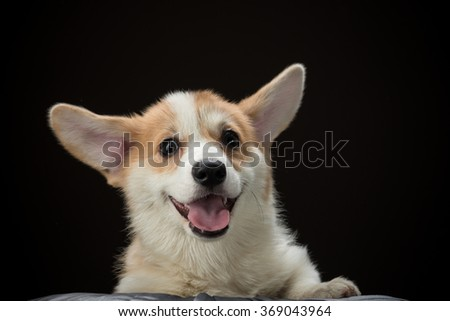 Close-up of a corgi puppy with a happy expression on its face - stock photo