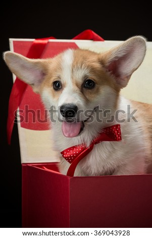 Close-up of a corgi puppy with a red bow sitting in a gift box vertical - stock photo