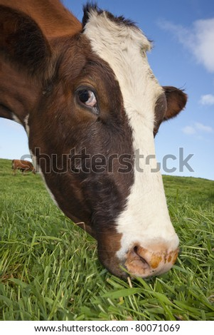 Close-up of a cow feeding in a field of grass seeing from a low angle - stock photo
