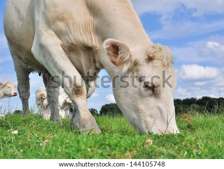 close up of a cow grazing in the meadow grass - stock photo