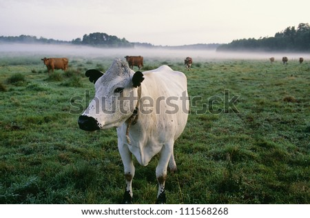 Close-up of a cow on a foggy field - stock photo