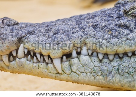 close up of a crocodile teeth