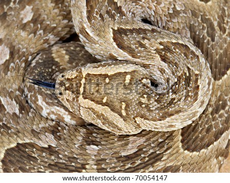 Close-up of a curled up puff adder (Bitis arietans) snake - stock photo