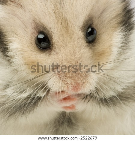 close up of a cut Hamster in front of a white background - stock photo