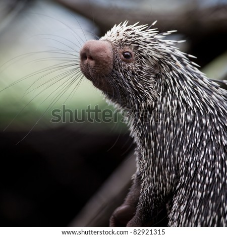 Close-up of a cute Brazilian Porcupine (Coendou prehensilis; shallow DOF)
