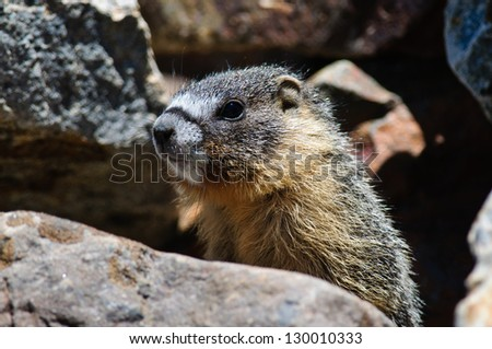 close up of a cute furry young Marmot, Yosemite national park