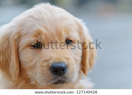 close up of a cute golden retriever puppy