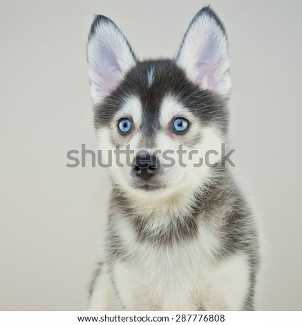 Close up of a cute little Pomsky puppy with blue eyes. - stock photo