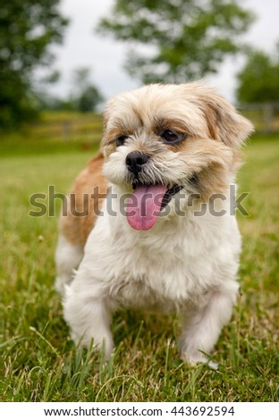 Close up of a cute little Shih-Tzu dog standing on green lawn panting