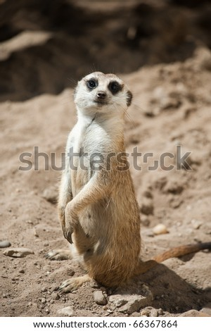 close up of a cute meerkat (Suricata suricatta)