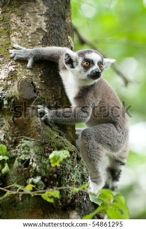 close-up of a cute ring-tailed lemur - stock photo