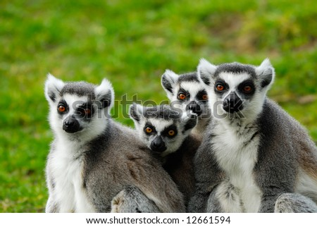 close-up of a cute ring-tailed lemur family