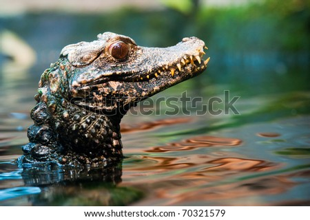 close up of a Cuvier's dwarf caiman ( Paleosuchus palpebrosus)