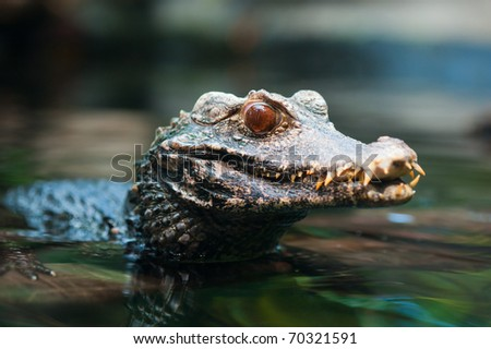 close up of a Cuvier's dwarf caiman ( Paleosuchus palpebrosus) - stock photo