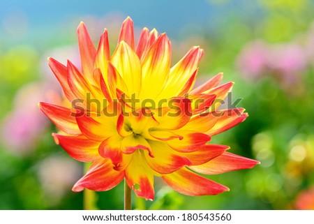 close up of a dahlia flower background  - stock photo