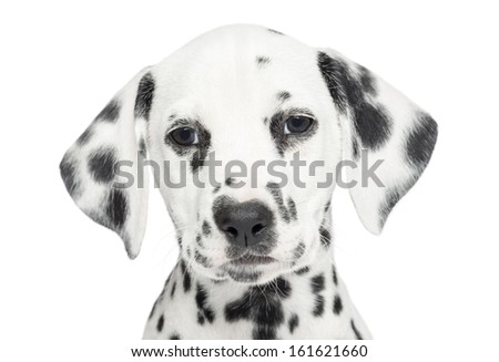 Close-up of a Dalmatian puppy, looking at the camera, isolated on white - stock photo