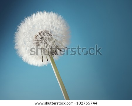 Close-up of a dandelion against a blue background