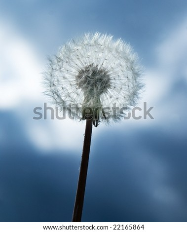 Close up of a dandelion against the blue sky.