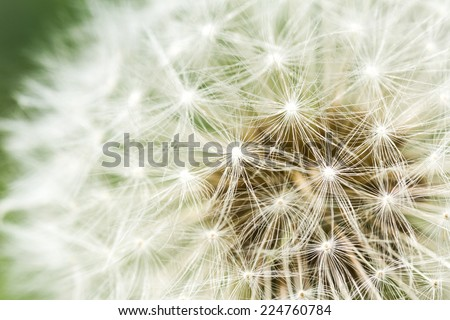 close up of a dandelion puff on a green background