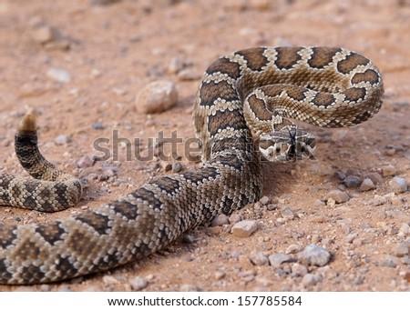 Close up of a deadly snakeGreat Basin Rattlesnake, Crotalus oreganus lutosus  - stock photo