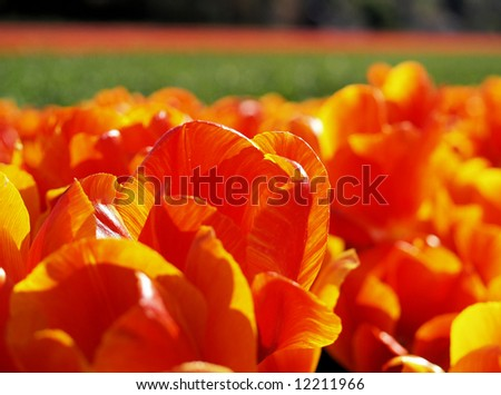 Close-up of a deep orange tulip field