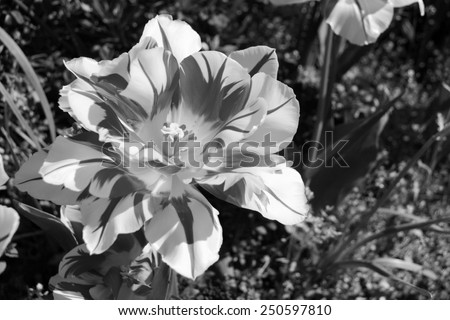 Close-up of a double early Monsella tulip blooming in a flower bed - monochrome processing - stock photo