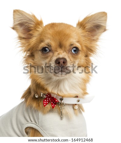 Close-up of a dressed-up Chihuahua, looking at the camera, 1 year old, isolated on white