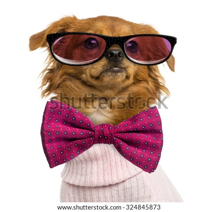 Close-up of a Dressed-up Mixed-breed Chihuahua wearing glasses and a bow tie, isolated on white