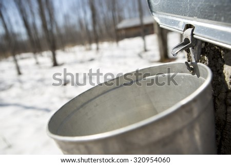 Close up of a droplet of sap flowing from the maple tree into a  - stock photo