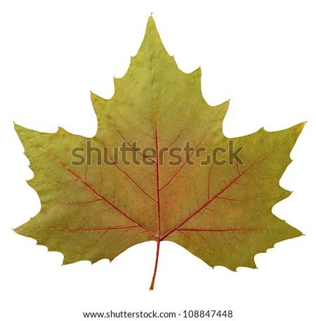 hispanic singles in white oak Hispanic multi-racial  single oak tree with green leaves isolated on white  isolated on white background oak tree single oak tree isolated on white background.