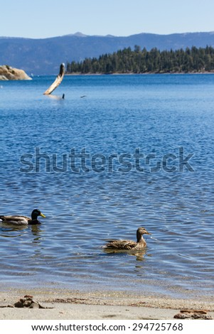 close up of a duck in springtime with beautiful Lake Tahoe in the background