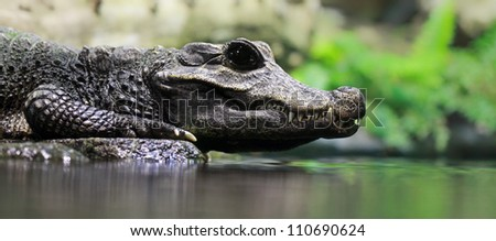 Close-up of a Dwarf crocodile (Osteolaemus tetraspis) - stock photo