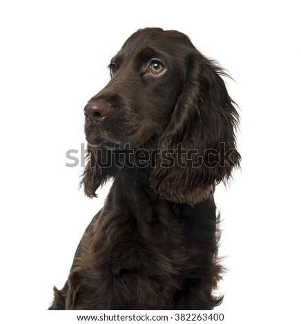 Close up of a English Cocker Spaniel puppy looking away, isolated on white (5 months old) - stock photo