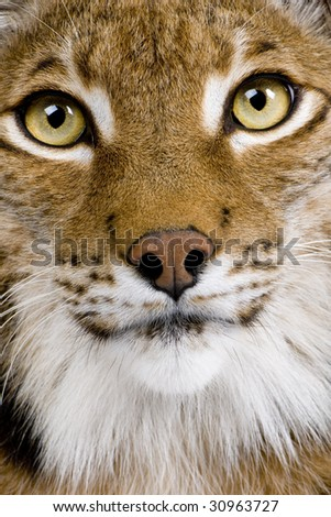Close-up of a Eurasian Lynx's head - Lynx lynx (5 years old) in front of a white background - stock photo